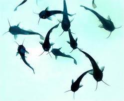 Pemilihan dan Cara Menebar Bibit Ikan Lele