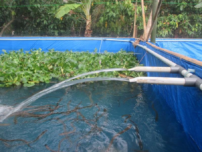 Bisnis Budidaya Bibit Ikan Lele Kolam Terpal