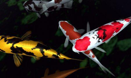 Peluang Usaha Terkini Bisnis Ikan Koi